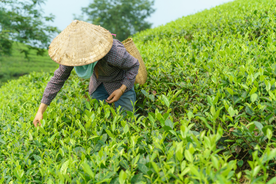 Vietnam Worker Harvesting