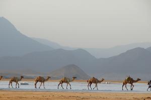Djibouti Camels