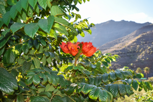 Gabon Flowers with Mountain Background