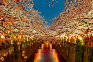 Japan Walkway with Cherry Blossom Trees