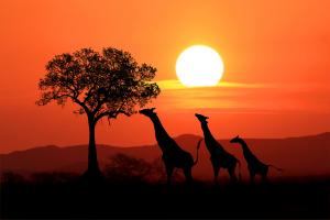 Kenya Giraffes Sunset Image