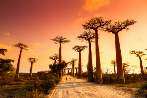 Madagascar Trees with Open Road