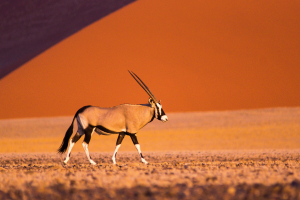 Namibia Desert View with Antelope