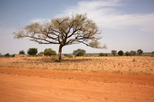 Niger Desert Tree