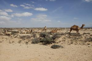 Somalia Camel Desert View