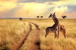 Tanzania Field with Giraffes