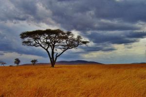 Tanzania Tree with Field